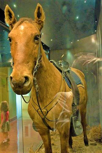 Stuffed horse Comanche in a glass case on display at the University of Kansas Natural History Museum