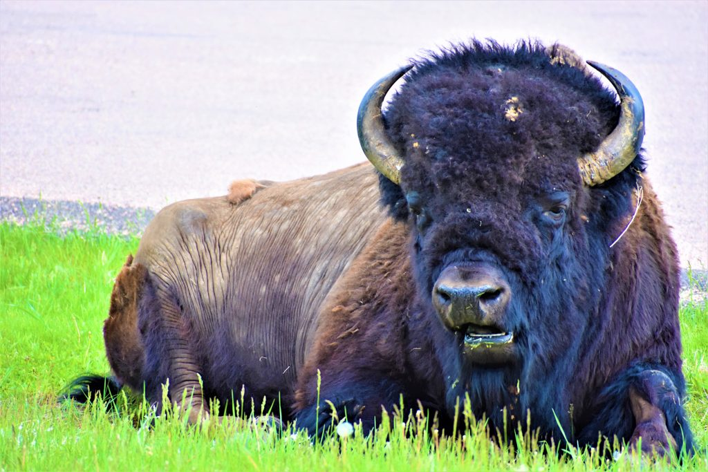 Bull Bison / American Buffalo in Custer State Park in the Black Hills of South Dakota. He is laying down looking at us. He has very mature horn that curl up. His mouth is open. His brown skin is exposed on his hind quarters. His head is covered in brownish black curly fur. He is sitting in the green grass.