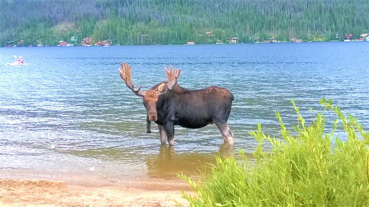Moose standing in lake at Grand Lake